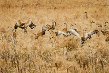 Cranes returning in Spring