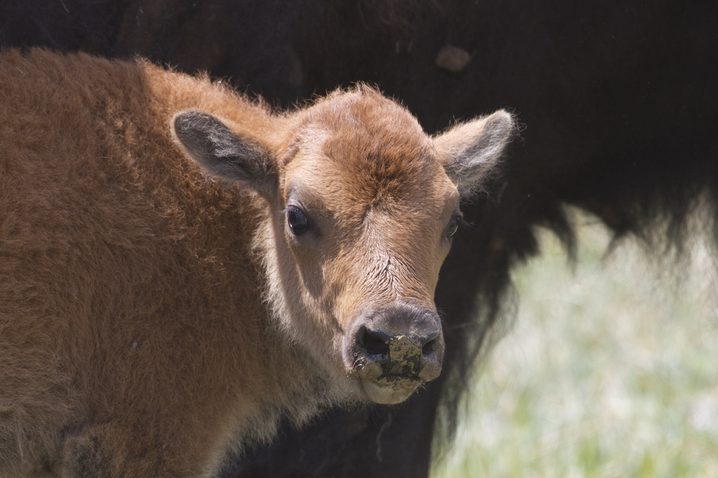 bison | MJ Springett - photo#24