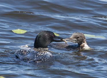 Feeding the Baby Loon