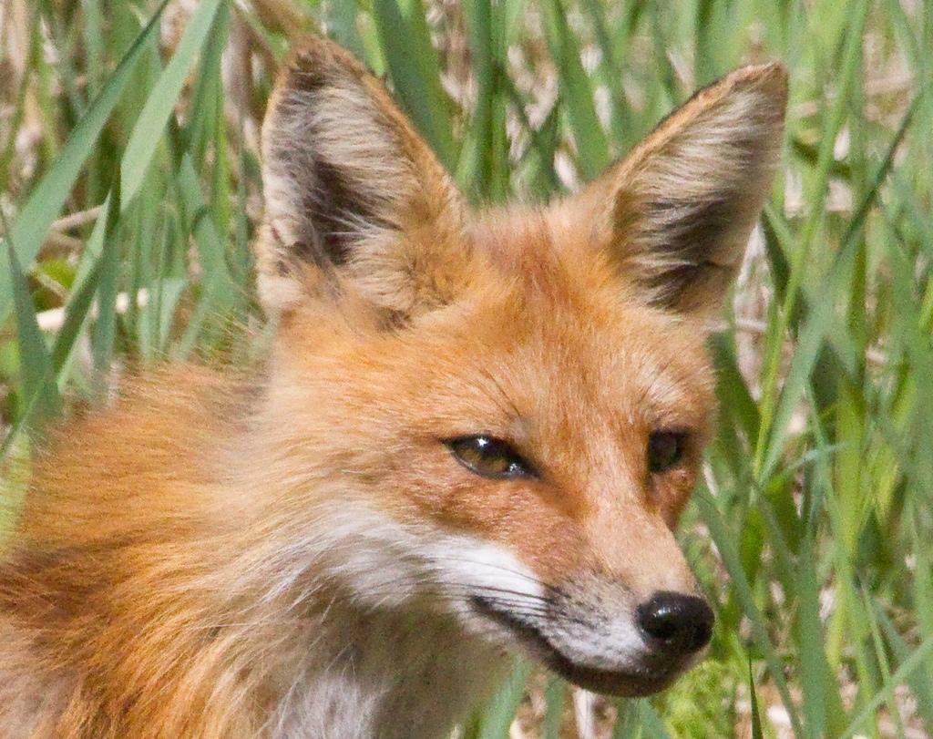 Fox face | MJ Springett