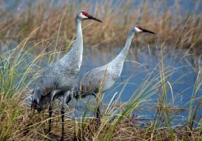 Cranes at Crex