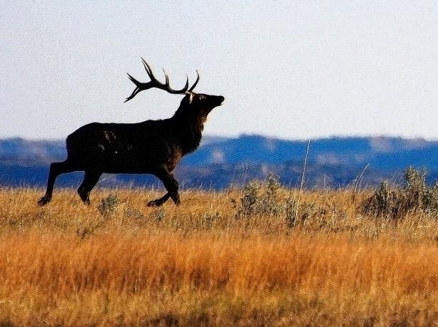Elk on the Ridge