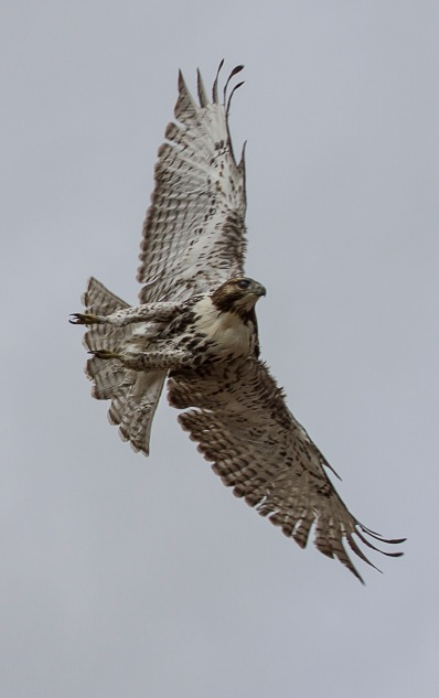 immmature redtail in flight