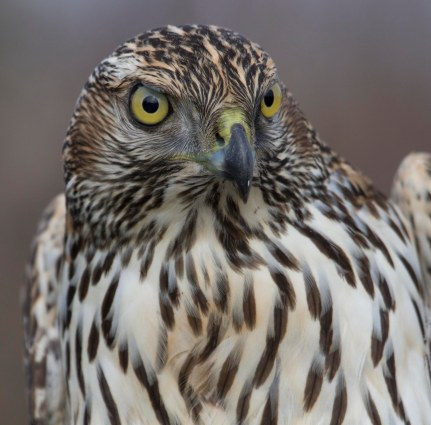light goshawk