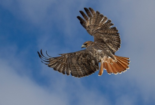 mature redtail tail feathers