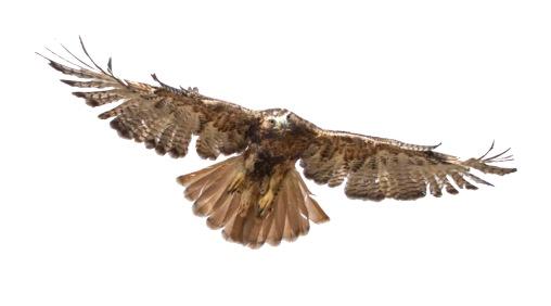 rufous redtail flight2