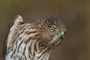 Cooper Hawk Juvenile