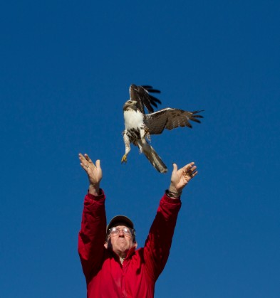 Jim Releasing a Redtail Hawk