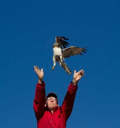 Jim Releasing a Redtail Hawk