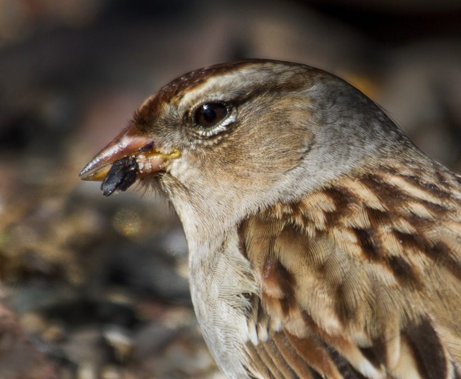 chipping sparrow detail