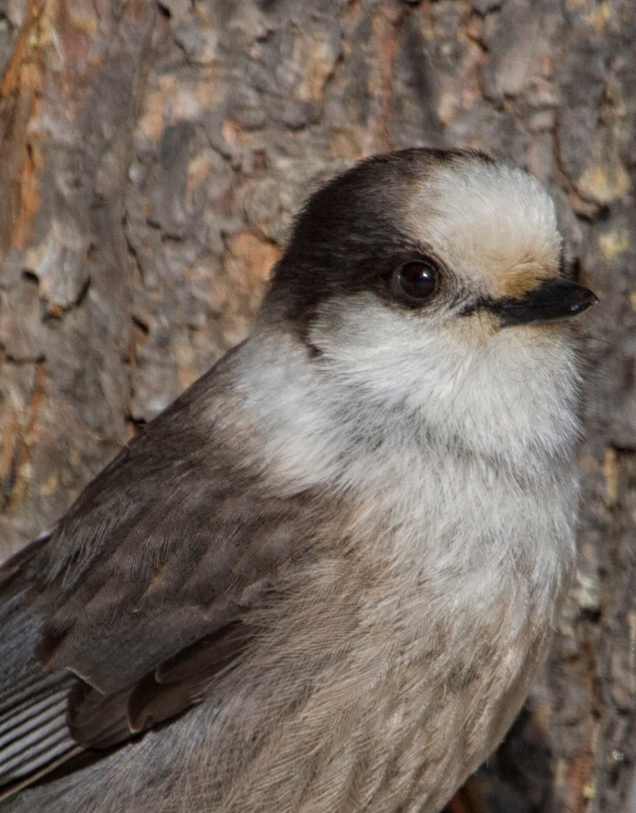 gray jay winter