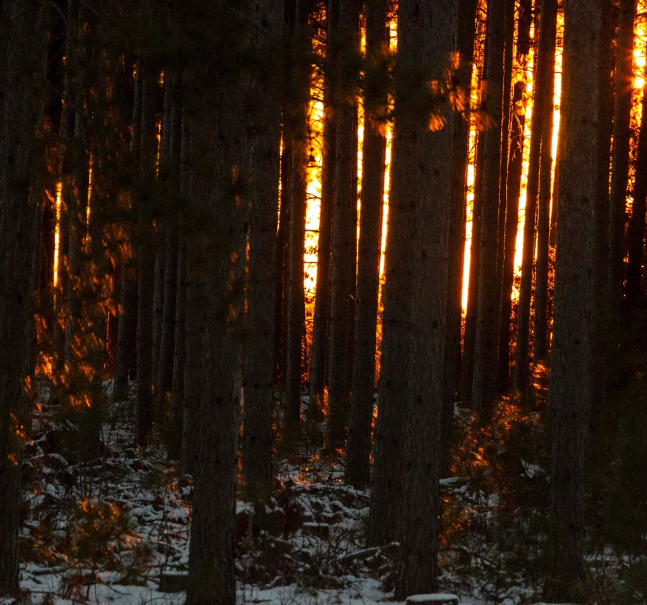 red pines sundown