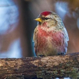redpoll male