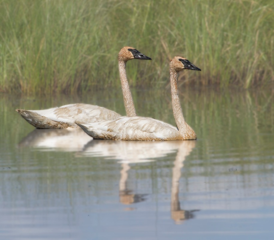 summer swans8165-2
