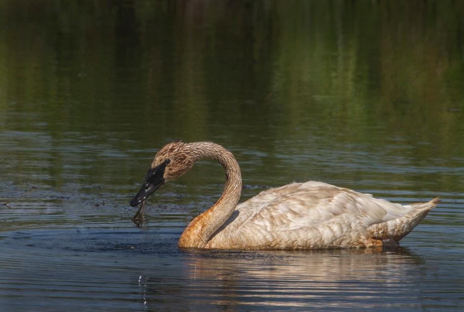 swan food