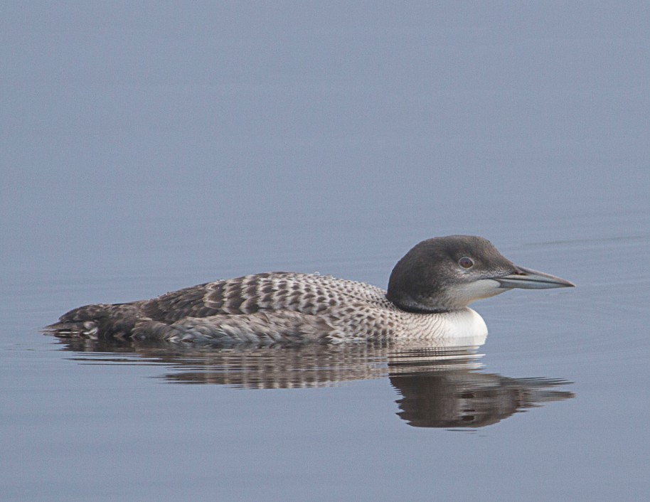 young loon summer