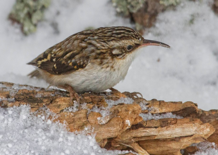 brown creeper 2