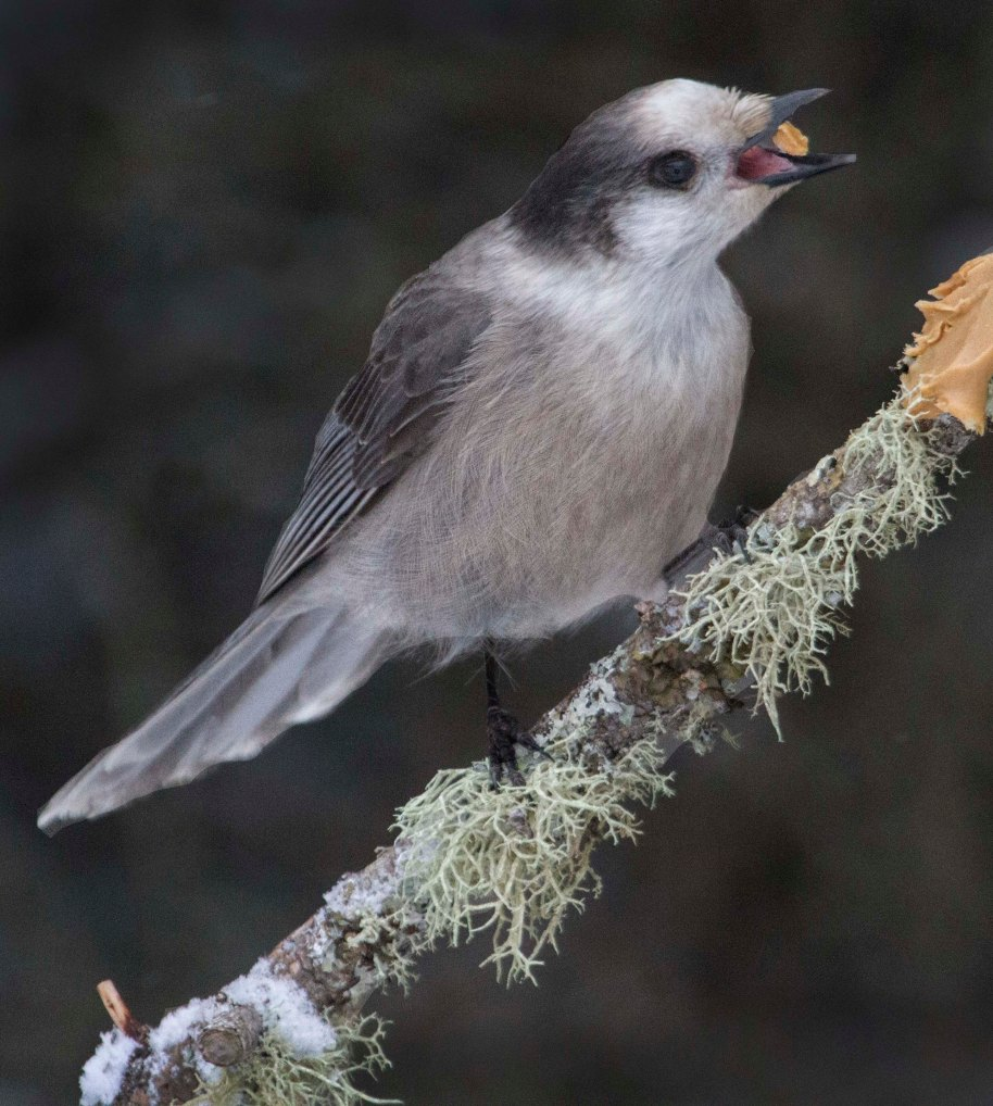 gray jay with pb