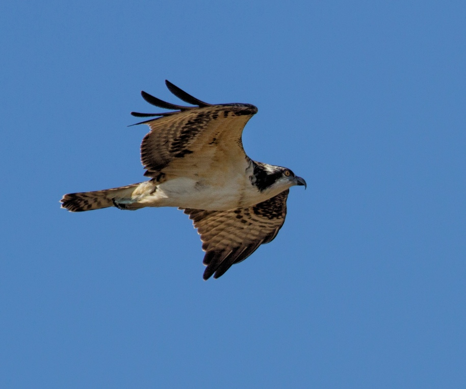 osprey hawk ridge