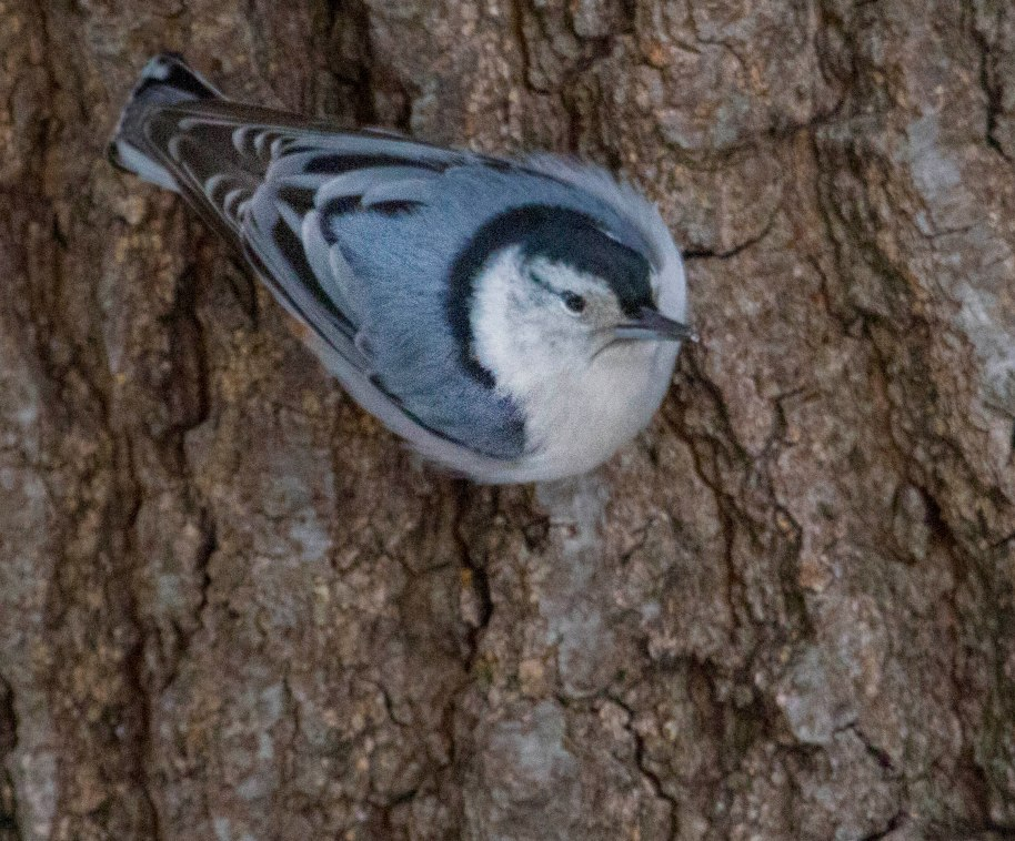 white nuthatch