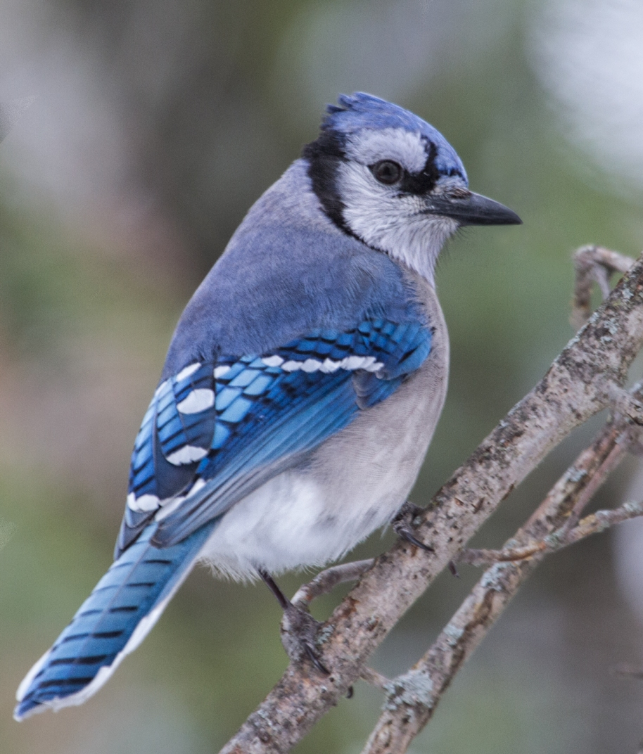 blue-jay-branch