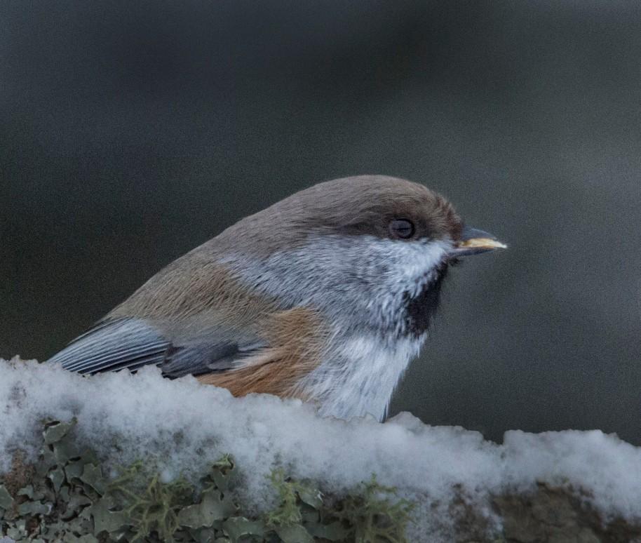 boreal chickadee 2013