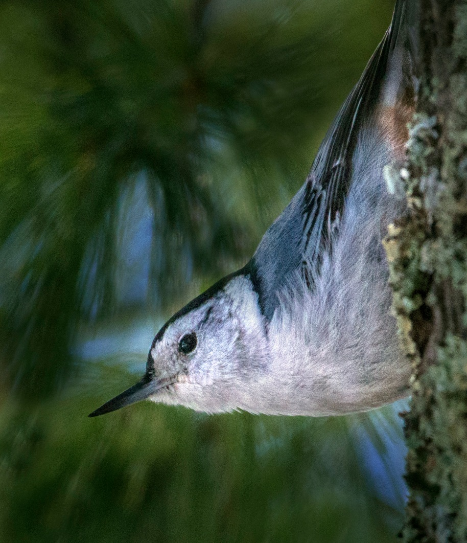 color corrected white nuthatch