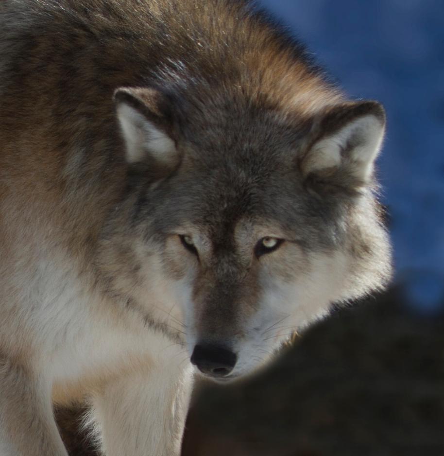 denali wolf iwc