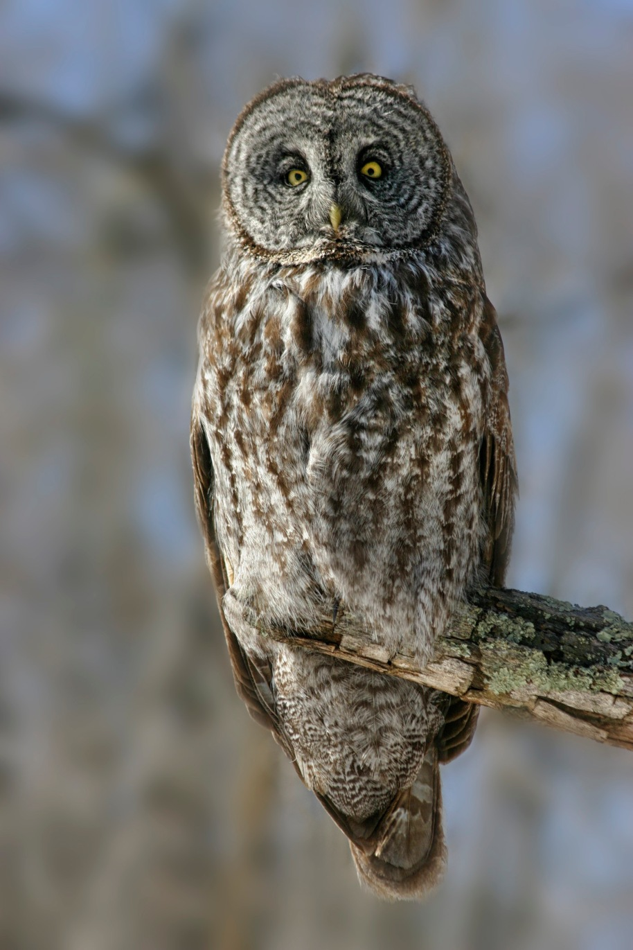 gray old owl