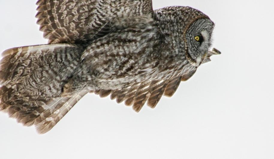 owl flight22