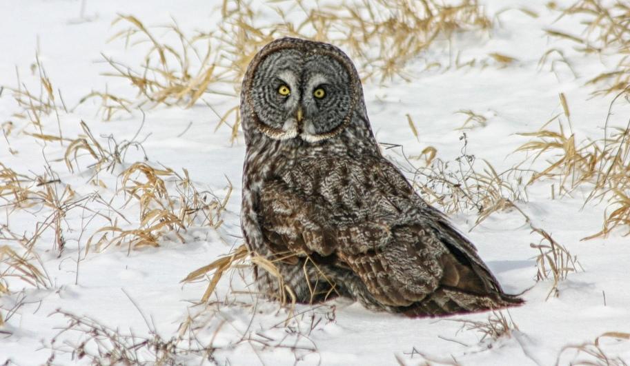 owl snow