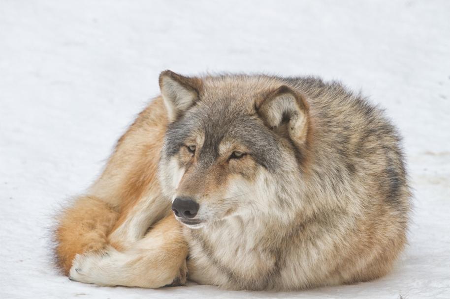 quiet-wolf