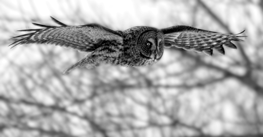flying owlbw