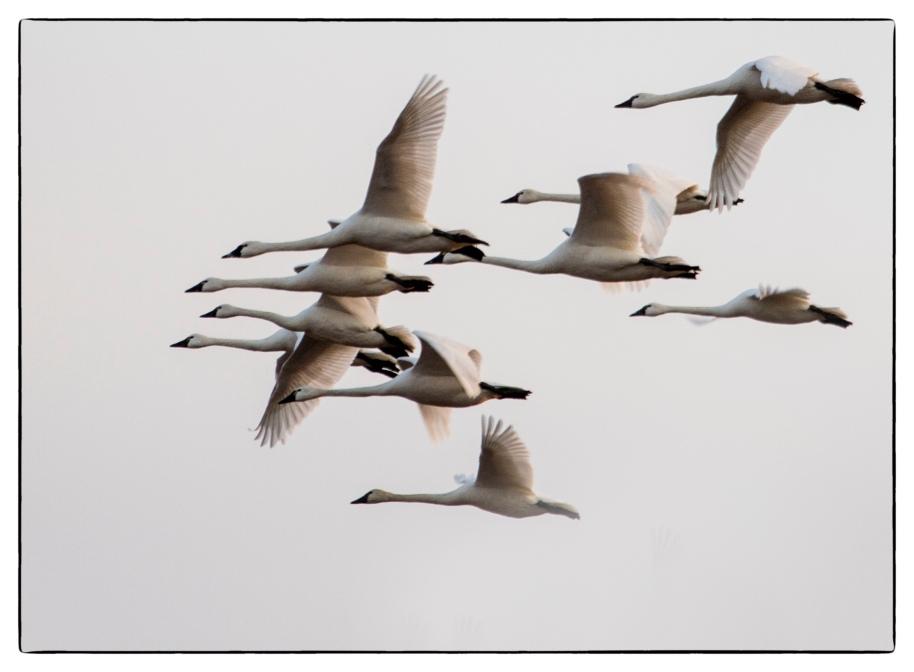Spring Swans copy