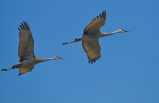 cranes show