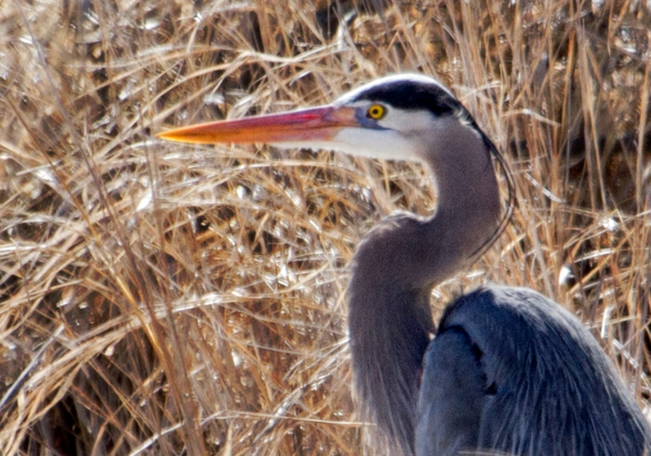 first blue heron