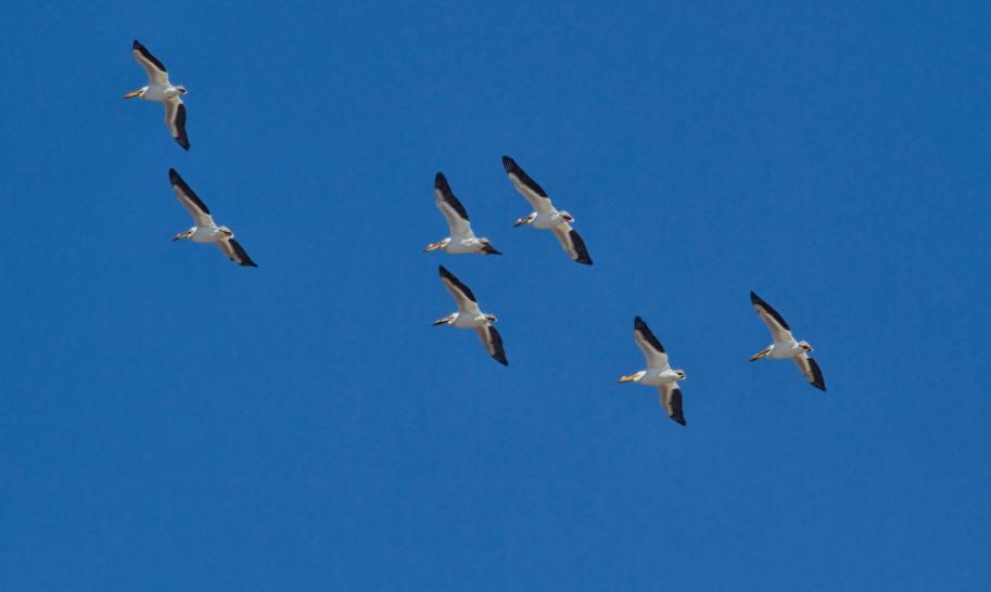 pelican flight spring