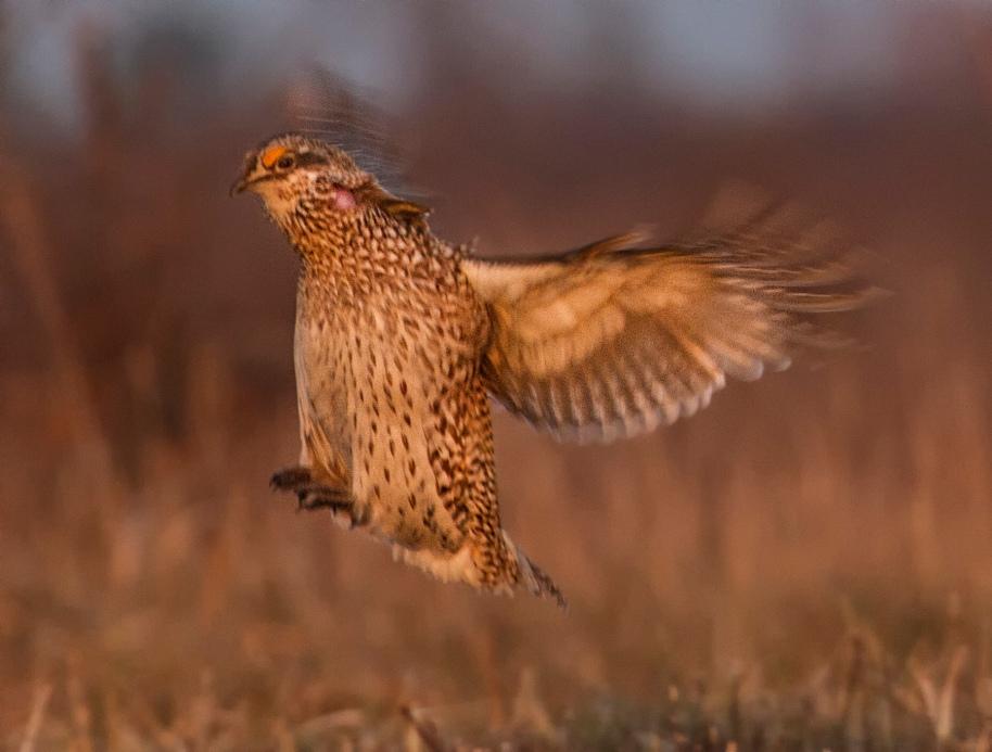 grouse jump