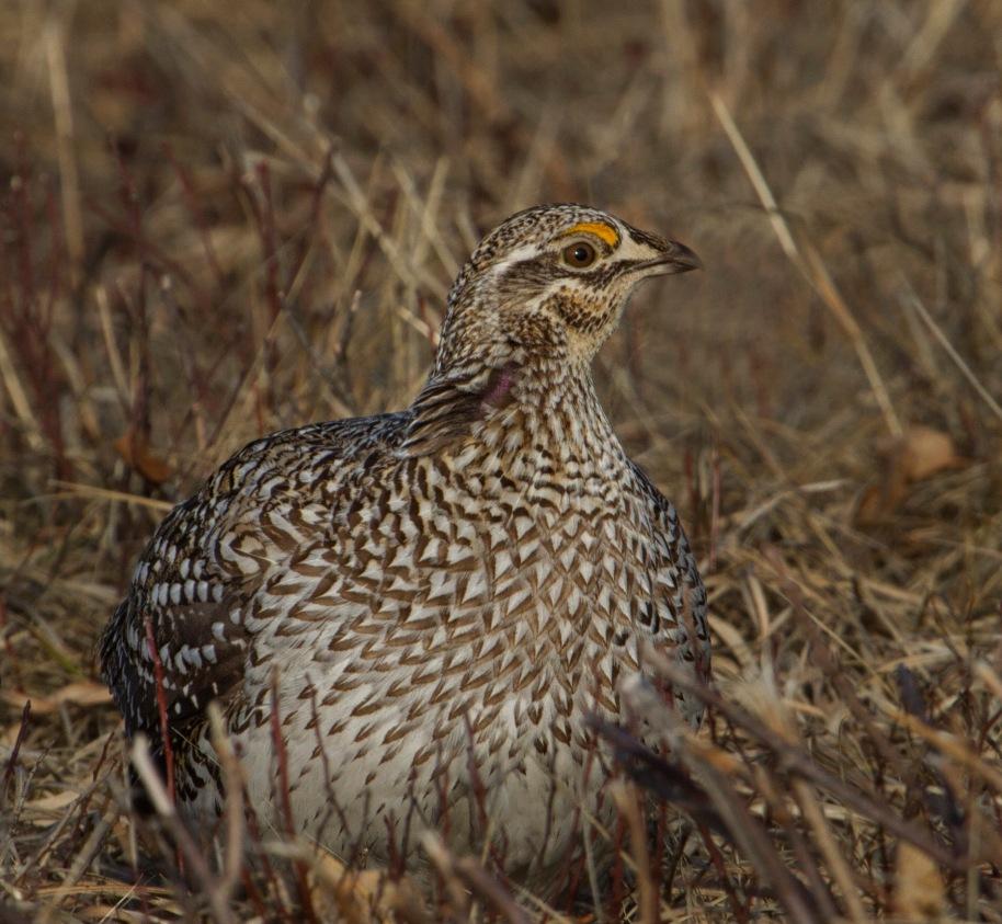 male sharptail11