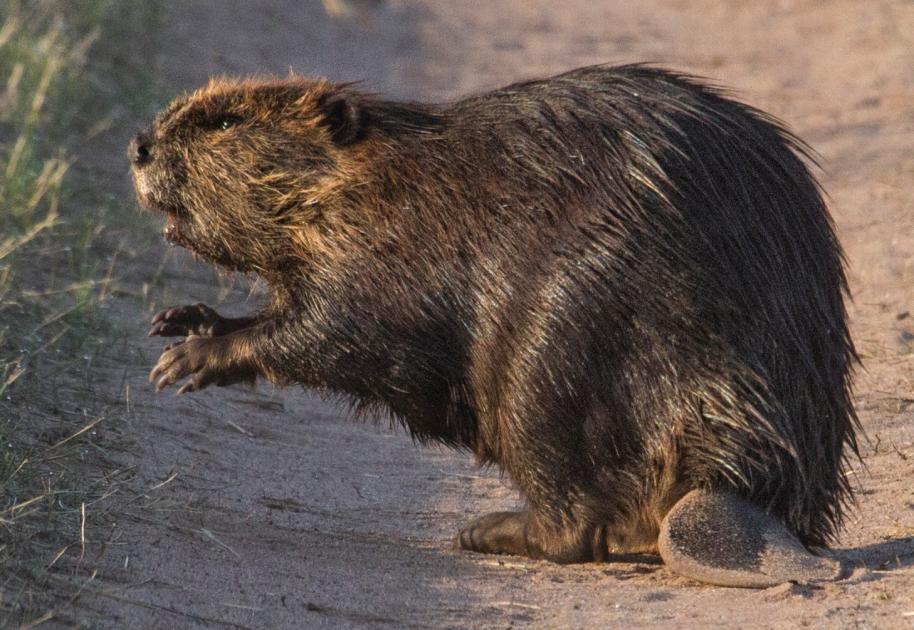 sandy beaver