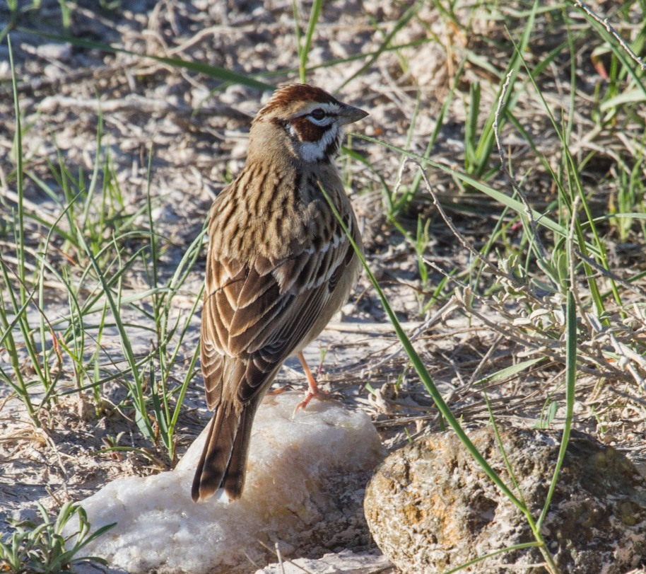 sd lark sparrow