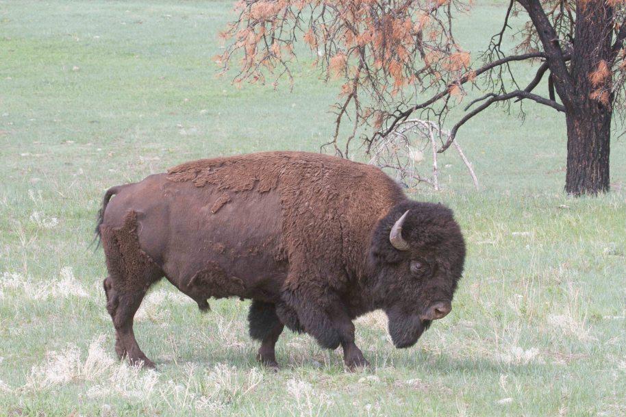 bison bull custer