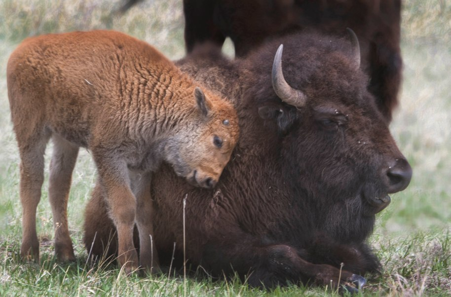 bison mom and child
