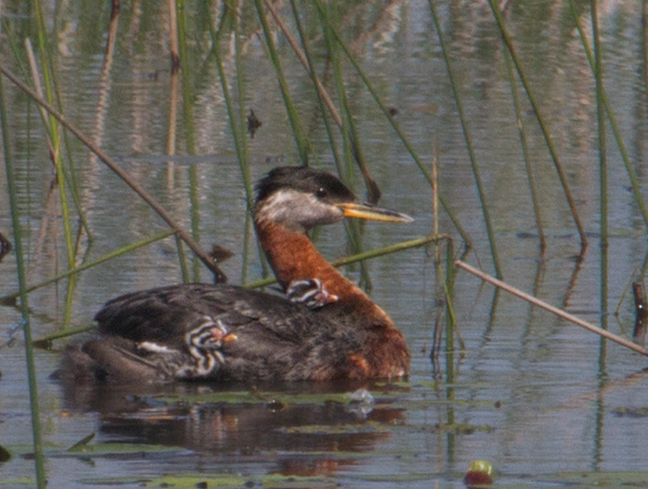 first day grebes