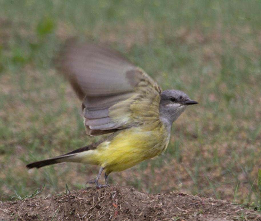 kingbird blur