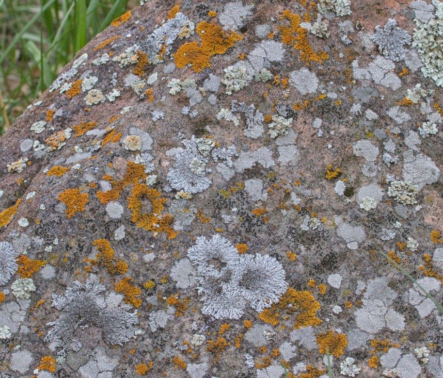 lichen custer