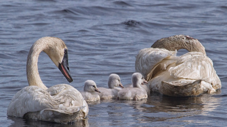 swan family2