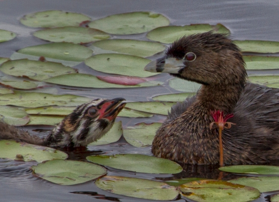Begging Pied-billed Grebe by MJSpringett Wildlife Photography