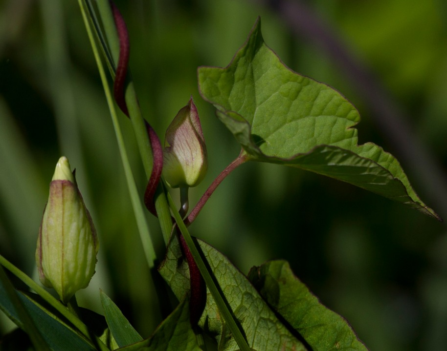 buds and stem