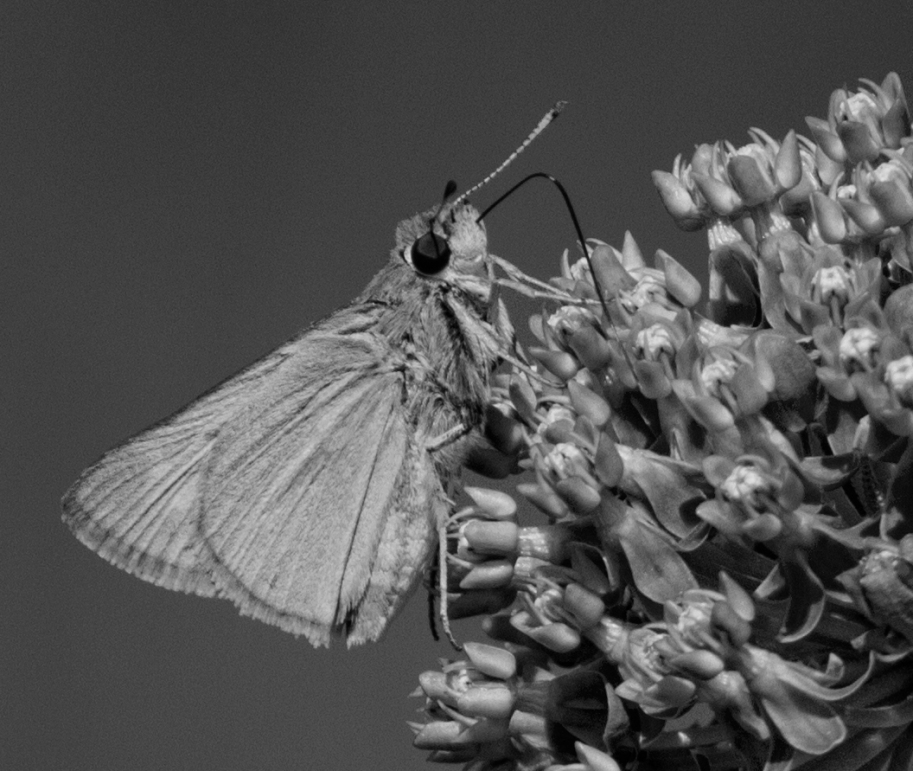 ck and white skipper